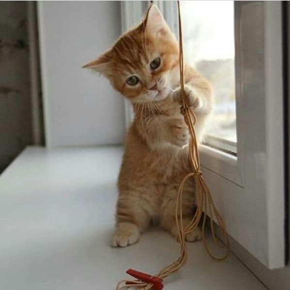 fotos de gato anao
