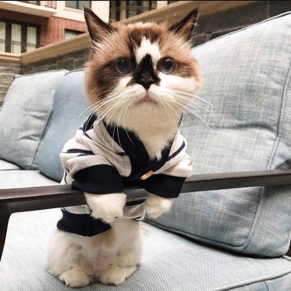 gato Munchkin de roupinha
