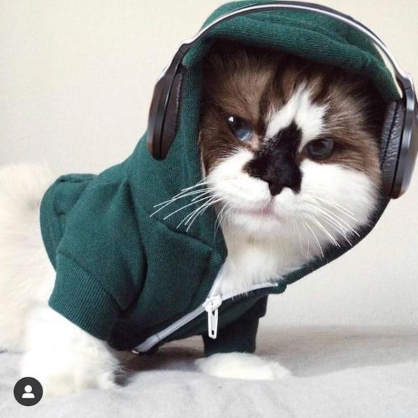 foto divertida de gato Munchkin