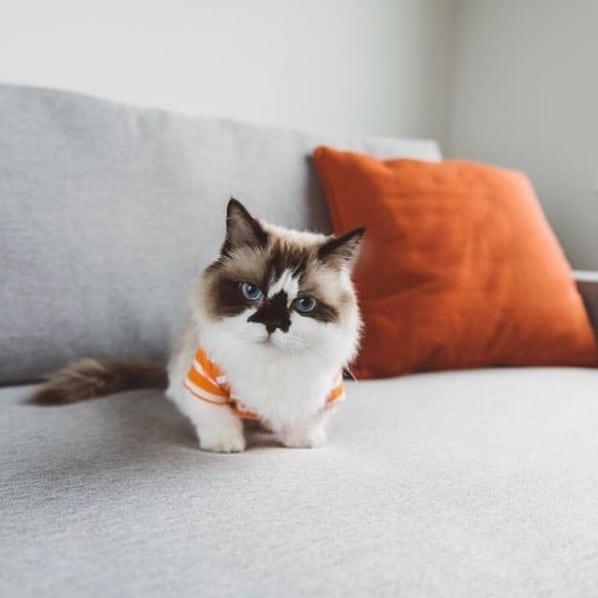 pagina com fotos de gato anao