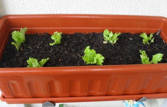 como plantar alface em vaso