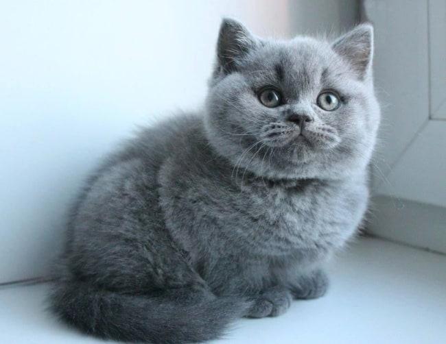 gato Munchkin de pelo cinza