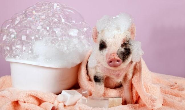 higiene de mini porco
