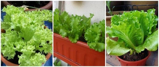 como cultivar alface em vaso