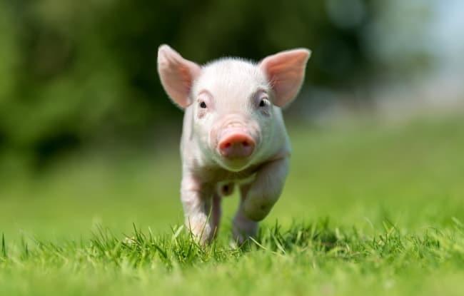 dicas para cuidar de mini pig