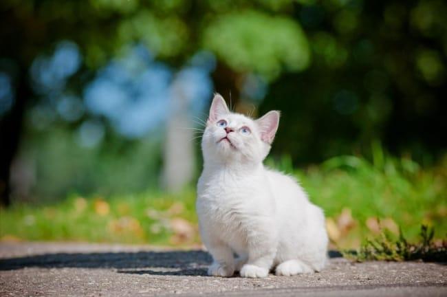 gato Munchkin de pelo brano