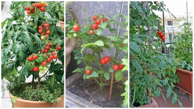 omo plantar tomate cereja