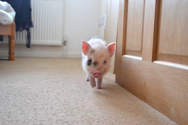 dicas para ter mini porco em casa