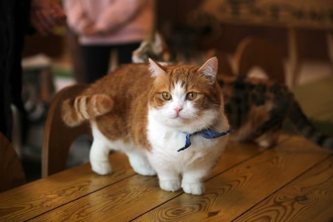 gato Munchkin de pelo caramelo