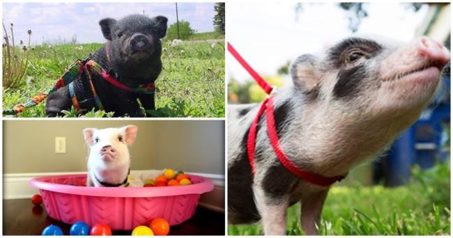dicas de atividades e exercicio com mini pig