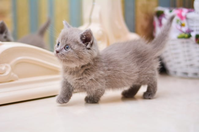 filhote de gato anao com pelagem cinza