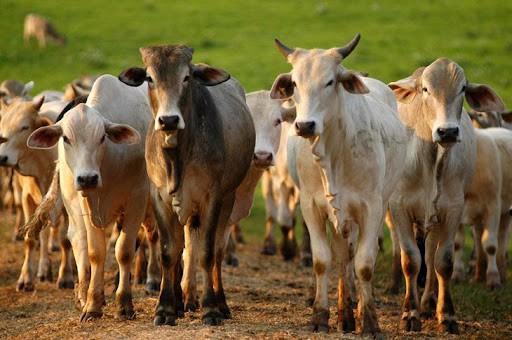 pontos positivos da criacao de gado