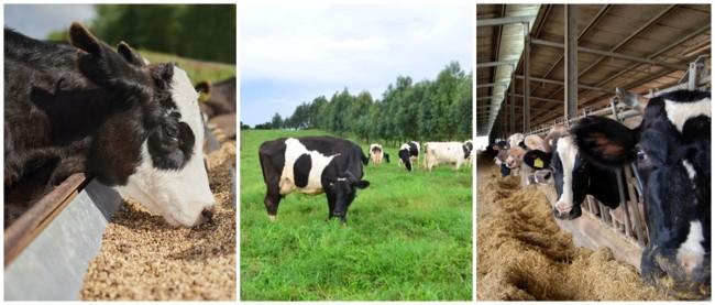 dicas de alimentacao para criacao de gado