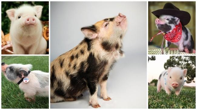 nomes para porcos