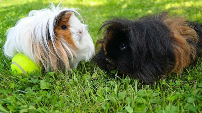 caracteristiacs e porquinho da india peruano