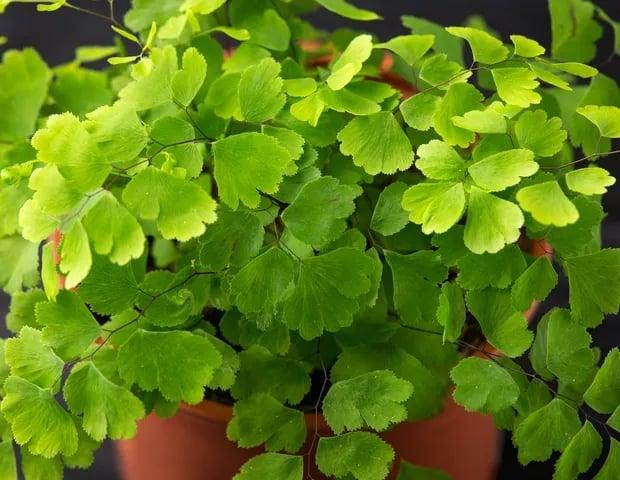 especie de planta para interiores