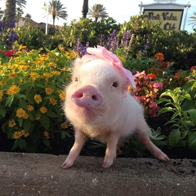 nomes para porcas