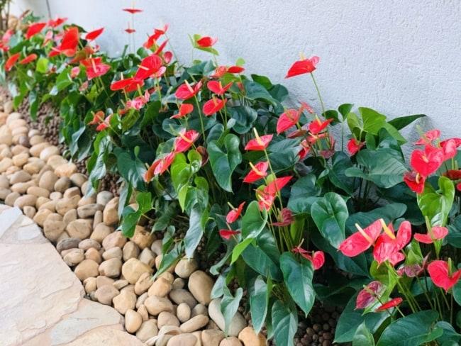 planta com flor vermelha facil de cuidar