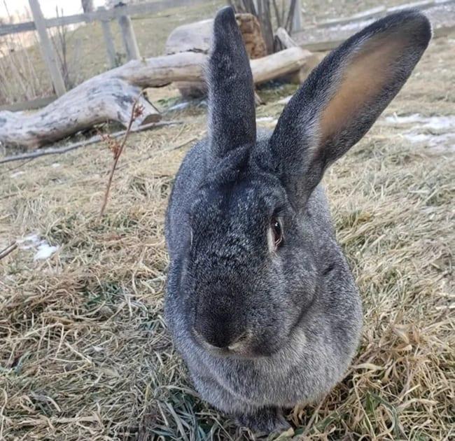 coelho gigante cinza