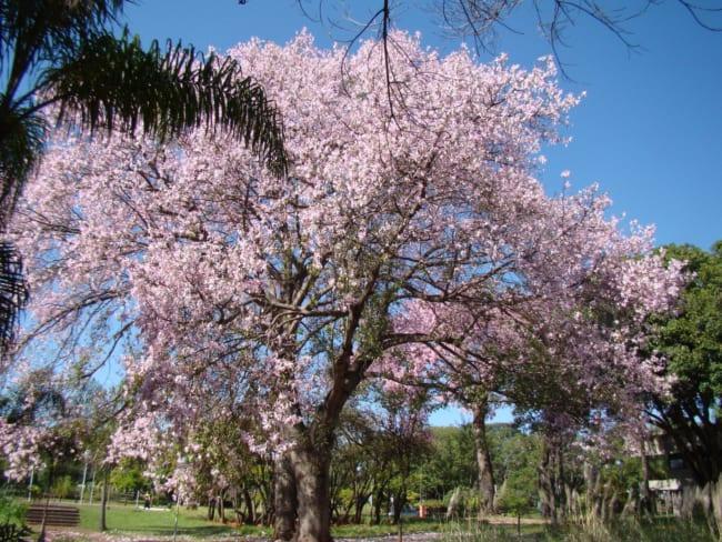 parque com paineira de flores rosa