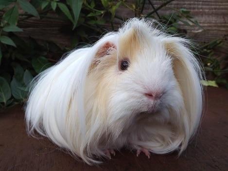 porquinho da india peruano de pelo branco