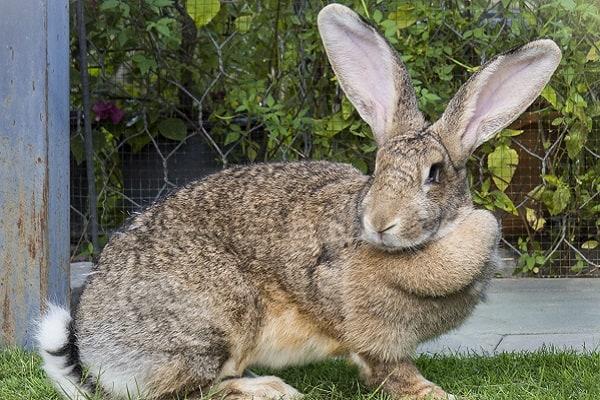 coelho gigante