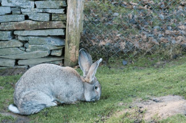 coelho gigante de Flandres