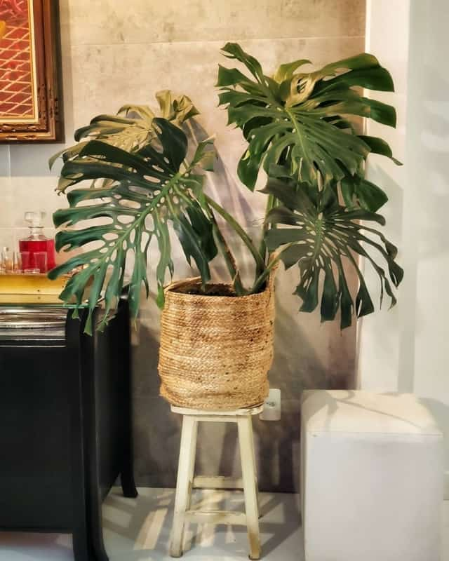 planta tropical para decoracao de interiores