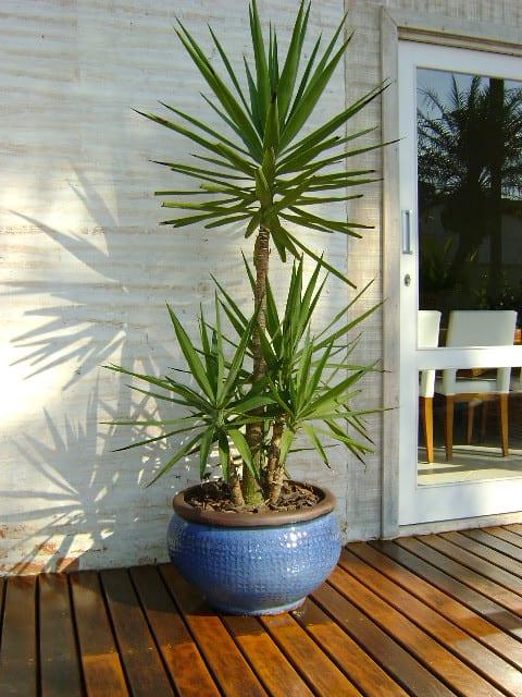 planta yuca decoracao