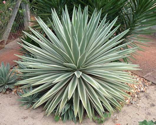 planta de sol