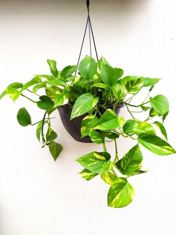 planta de vaso facil de cuidar