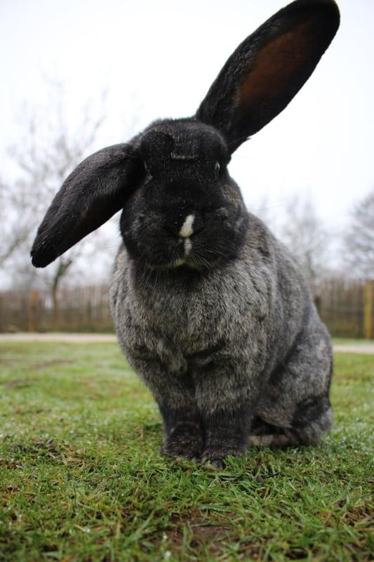 raca grande de coelho