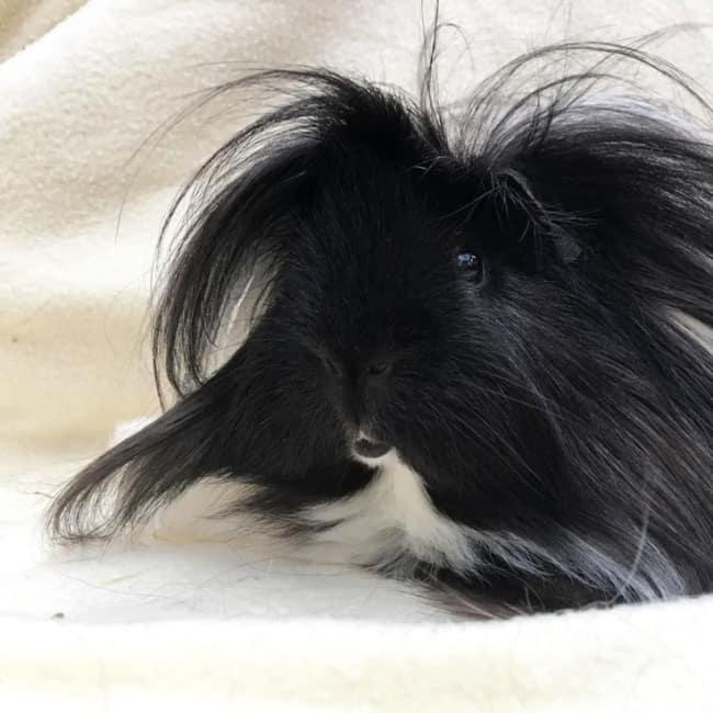 porquinho da india peruano de pelo preto e branco