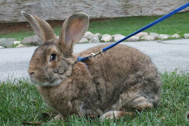 coelho gigante com coleira