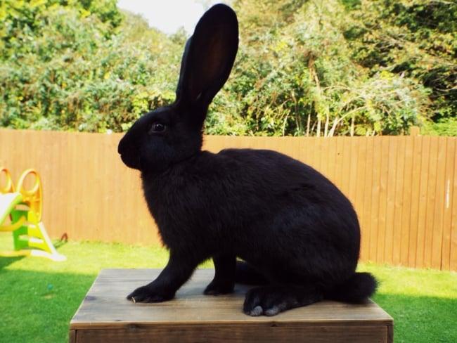 coelho gigante continental preto