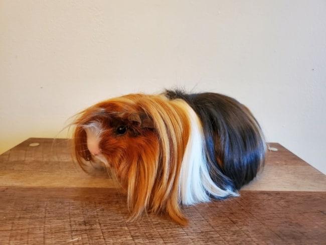 cor de pelagem de porquinho da india peruano