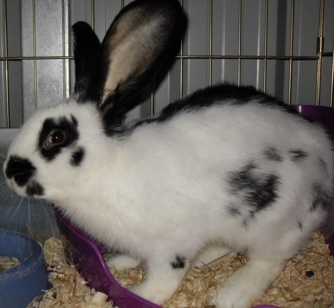coelho gigante branco e preto