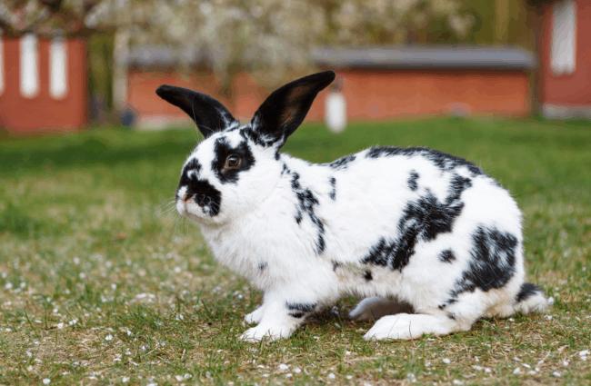 coelho gigante de duas cores