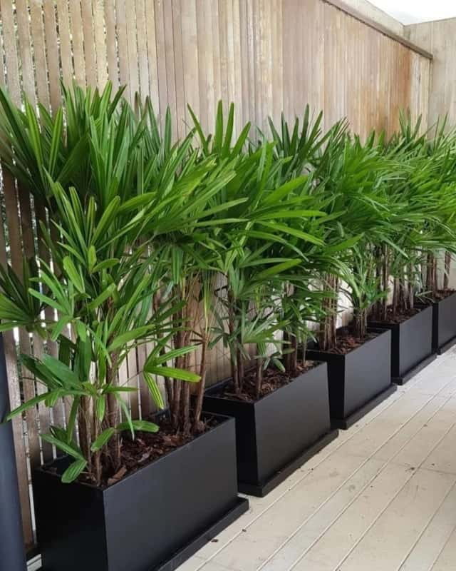 palmeira decorativa facil de cuidar