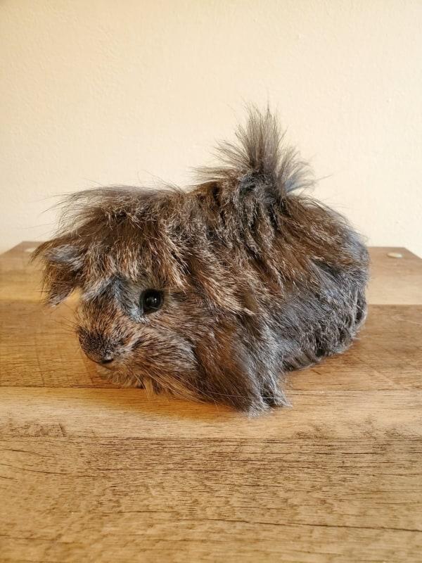 caracteristicas do pelo de porquinho da india peruano