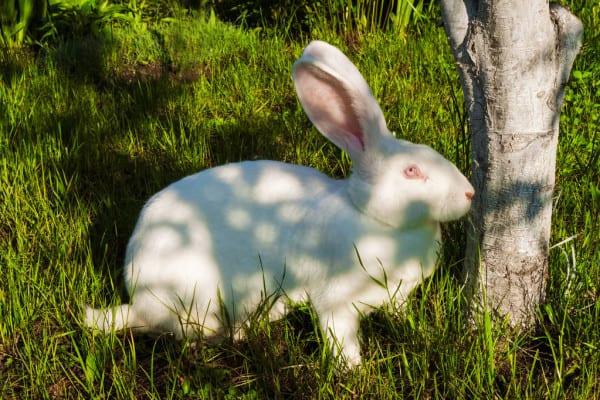 coelho gigante de pelo branco