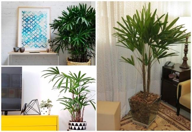 palmeira rafis na decoracao
