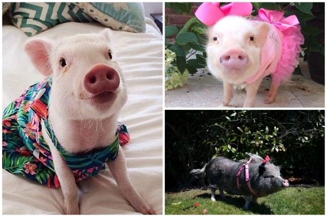 nomes para porquinhas