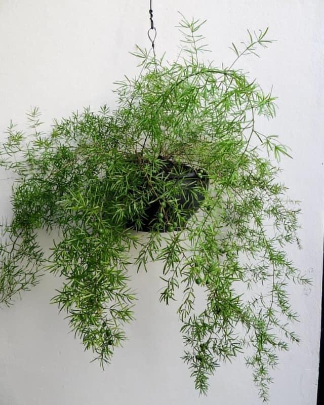 planta de sol para vaso suspenso