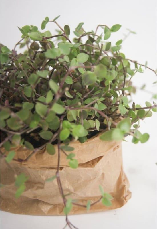 tipo de planta de sombra para dentro de casa