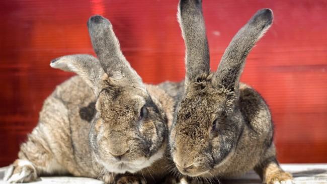 coelhos gigantes