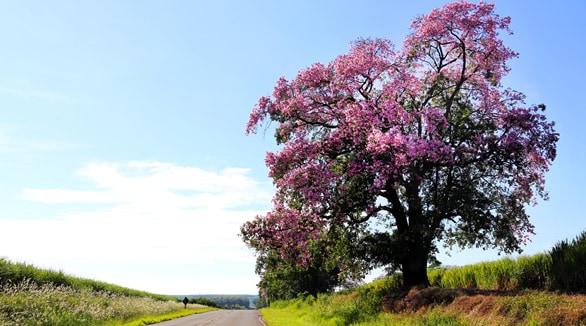 estrada com paineira florida