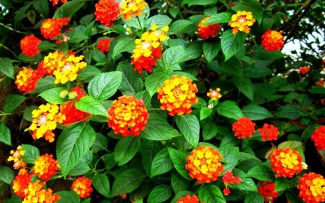 planta com mini flores para jardim