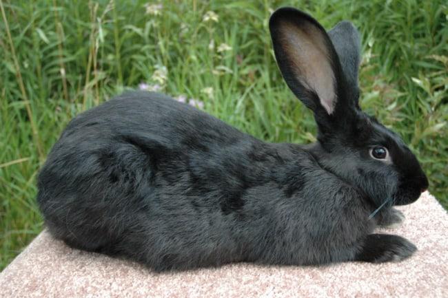 coelho preto gigante