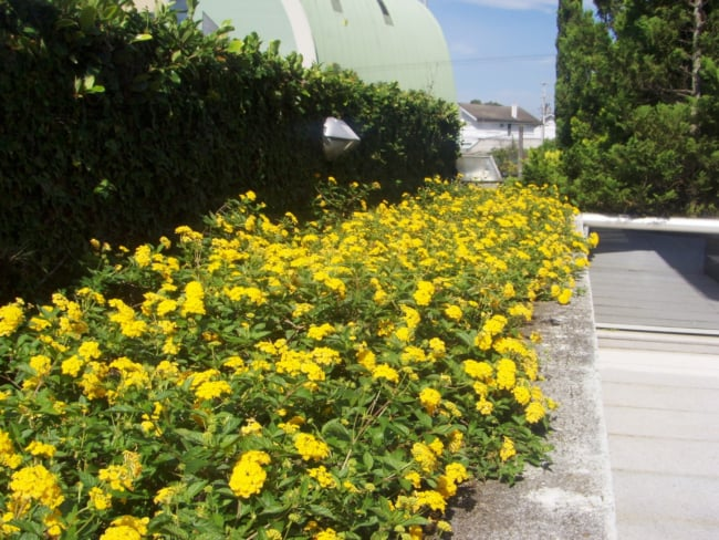 jardim com flores amarelas que gostam de sol